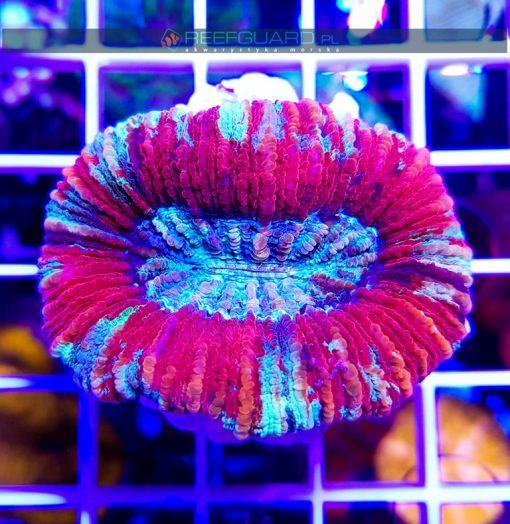 Trachyphyllia Rainbow WYSIWYG T007 szczecin sklep akwarystyka morska koralowce