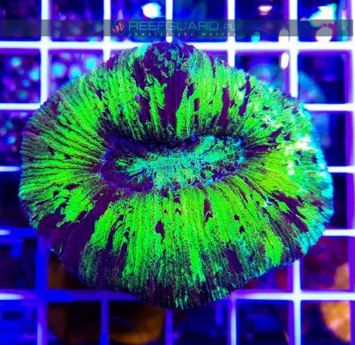 Trachyphyllia green fluo WYSIWYG T004 szczecin akwarystyka morska sklep z koralowcami