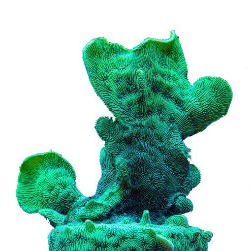Pavona cactus S Green Fluo