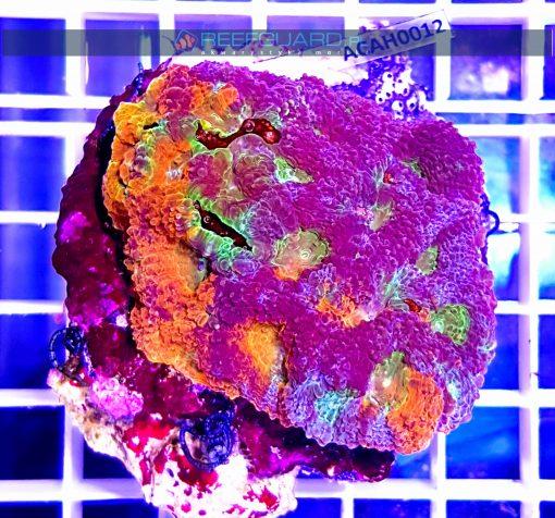 Acanthastrea echinata orange eye ACAH0012 akwarystyka morska szczecin reefguard