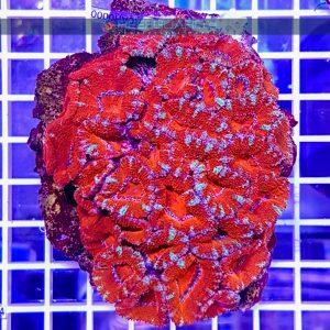 Acanthastrea lordhowensis Deep Red ACAH0000 Szczecin reefguard.pl