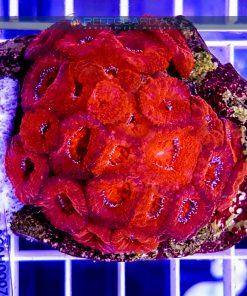 Acanthastrea lordhowensis Deep Red ACAH0007 Szczecin reefguard