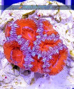 Acanthastrea lordhowensis Red ACAH000 szczecin reefguard.pl