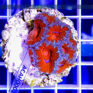 Acanthastrea lordhowensis Red ACAH0001 szczecin reefguard