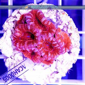Acanthastrea lordhowensis Red ACAH0005 reefguard.pl szczecin