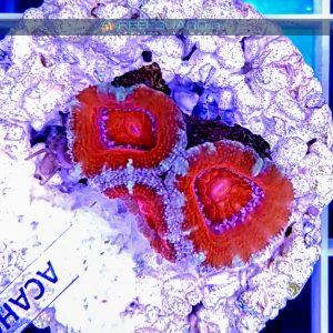 Acanthastrea lordhowensis Red ACAH0006