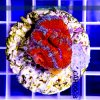 Acanthastrea lordhowensis Red ACAH0008 szczecin reefguard