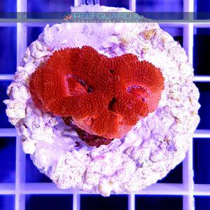 Acanthastrea lordhowensis Red ACAH0009 reefguatd Szczecin