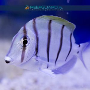 Acanthurus triostegus szczecin reefguard