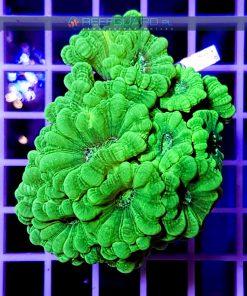 Caulastrea green fluo CAUH0001