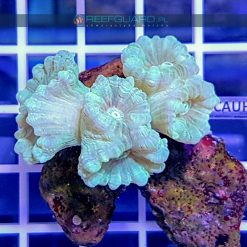 Caulastrea Mint Green CAUH0000 szczecin reefguard