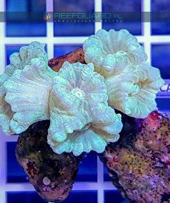 Caulastrea Mint Green szczecin reefguard