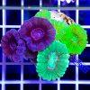 Caulastrea MultiColor CAUH0002 szczecin reefguard