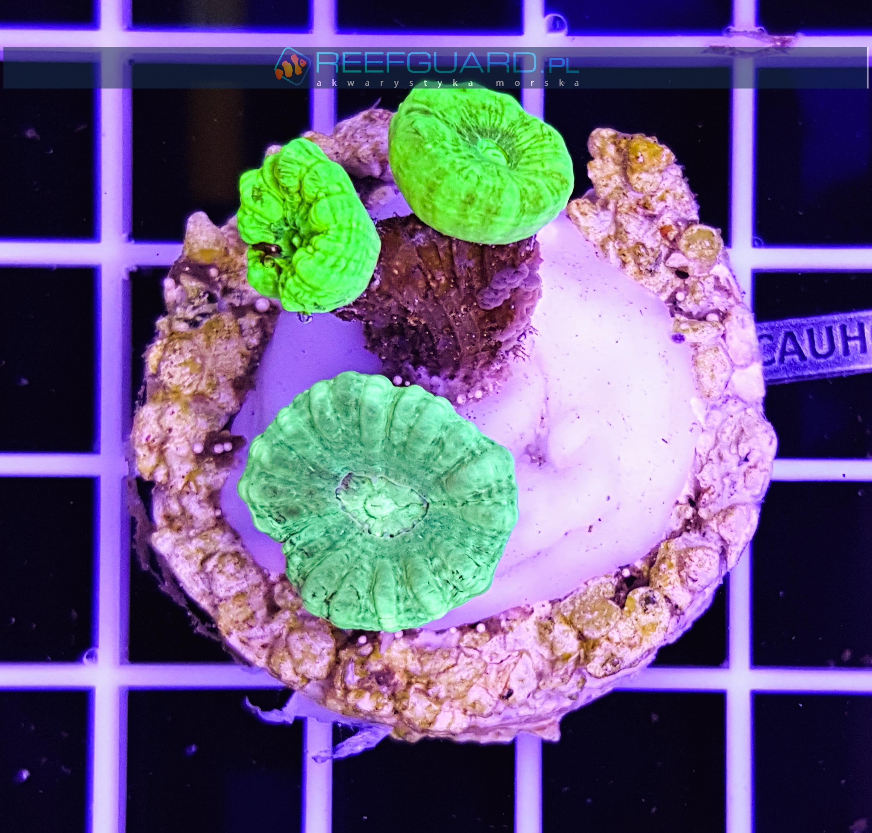 Caulastrea Multi Color CAUH0003 szczecin reefguard