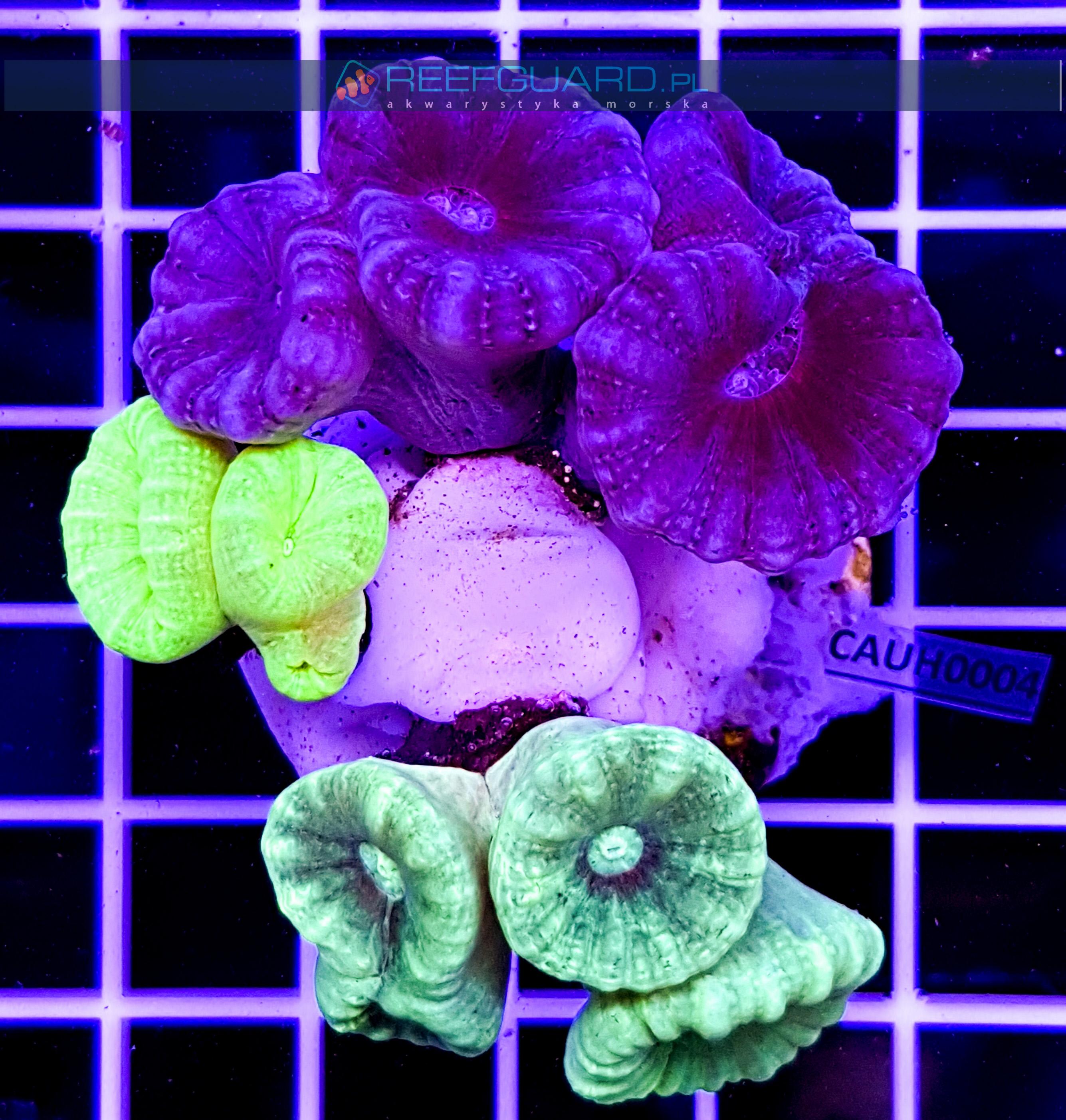 Caulastrea Multi Color CAUH0004 szczecin reefguard