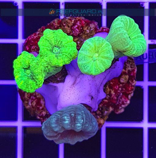 Caulastrea Multi Color CAUH001 szczecin reefguard