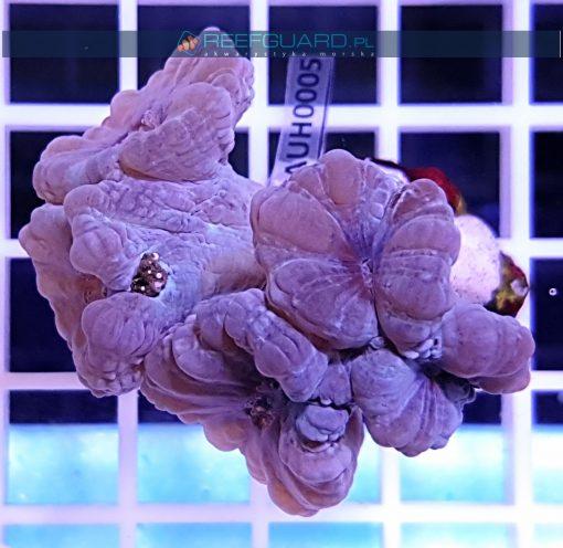 Caulastrea Blue spp. CAUH0005