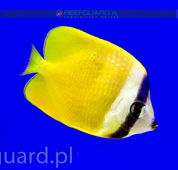 Chaetodon kleini szczecin reefguard