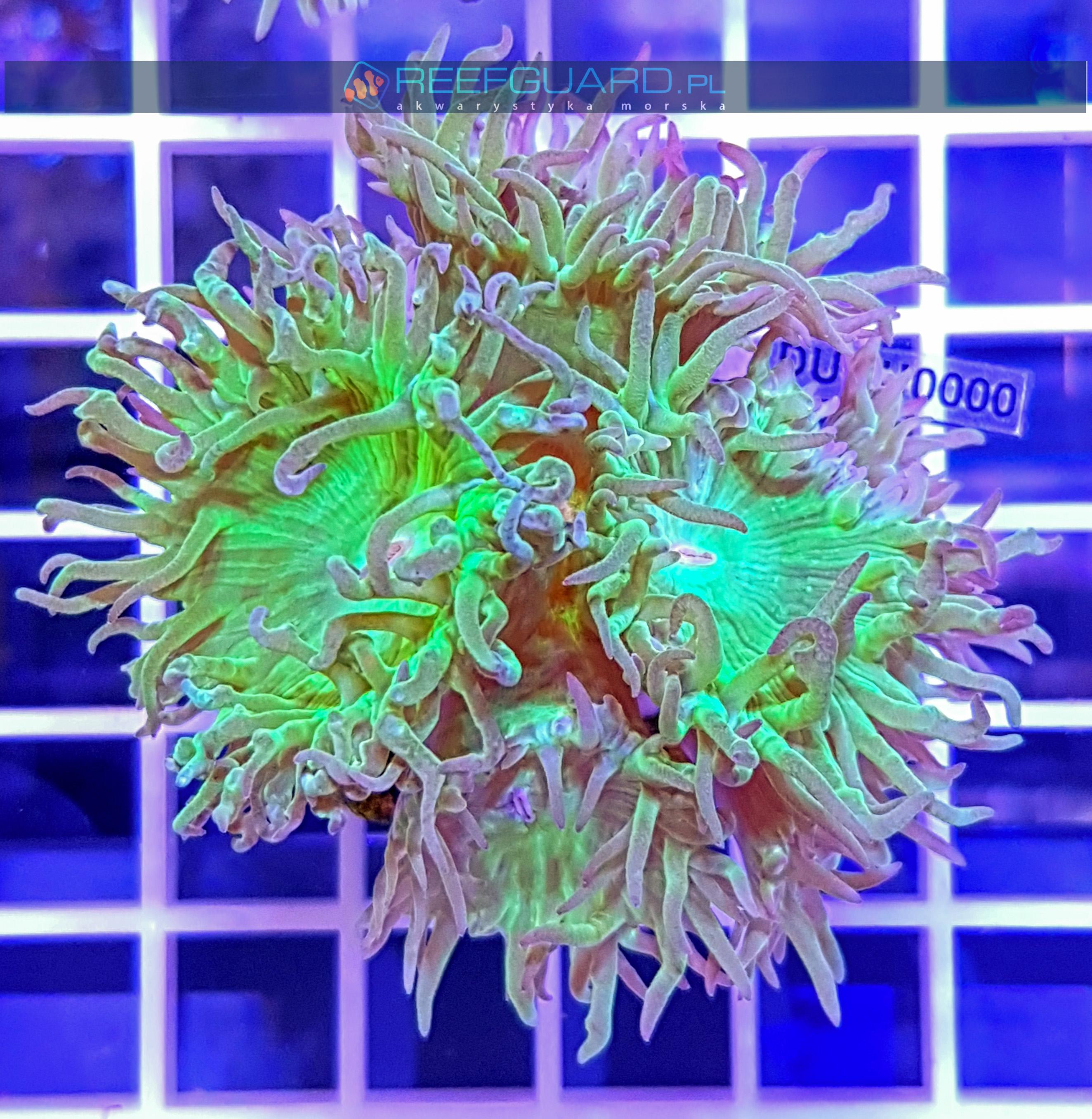 Duncanopsammia axifuga Dunka DUNH0000 Szczecin reefguard alwarystyka morska