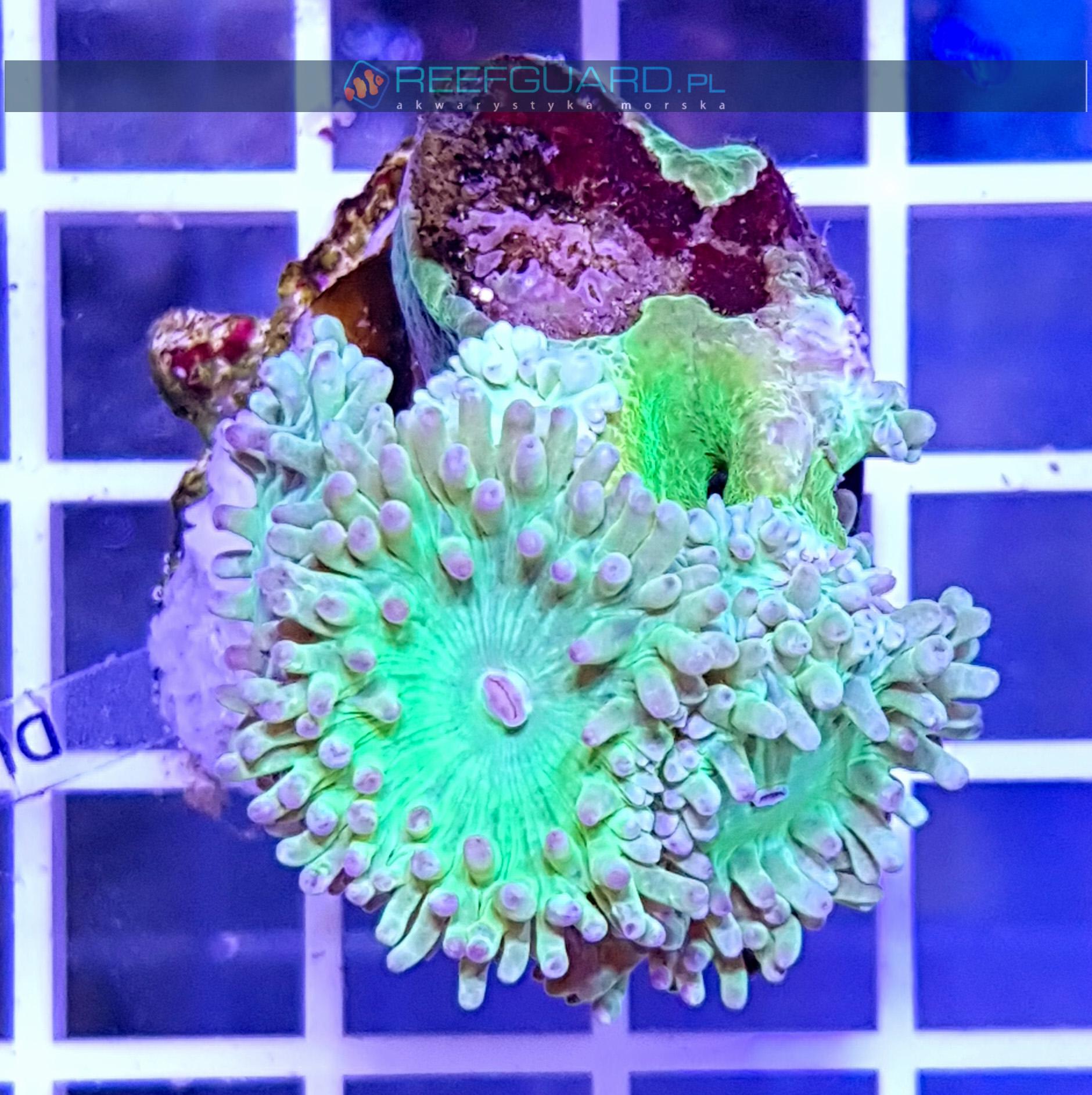 Duncanopsammia axifuga Dunka DUNH0002 szczecin akwarystyka morska