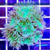 Duncanopsammia axifuga Dunka DUNH0004 szczecin reefguard