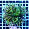 Euphyllia glabrescens Green Fluo Aquamarine Tip EUPH0019 reefguard szczecin