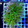 Euphyllia glabrescens Green Yellow Orange purple Tip Australia EUPH0008