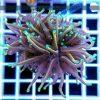 Euphyllia glabrescens Multicolor Aquamarine Tip Australia EUPH0022
