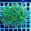 Euphyllia glabrescens Multicolor Australia EUPH0021