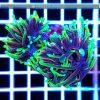 Euphyllia glabrescens Multicolor ULTRA Australia EUPH0004 reefguard szczecin