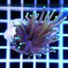 Euphyllia glabrescens Orange Australia Aquamarin tip EUPH0009 reefguard szczecin