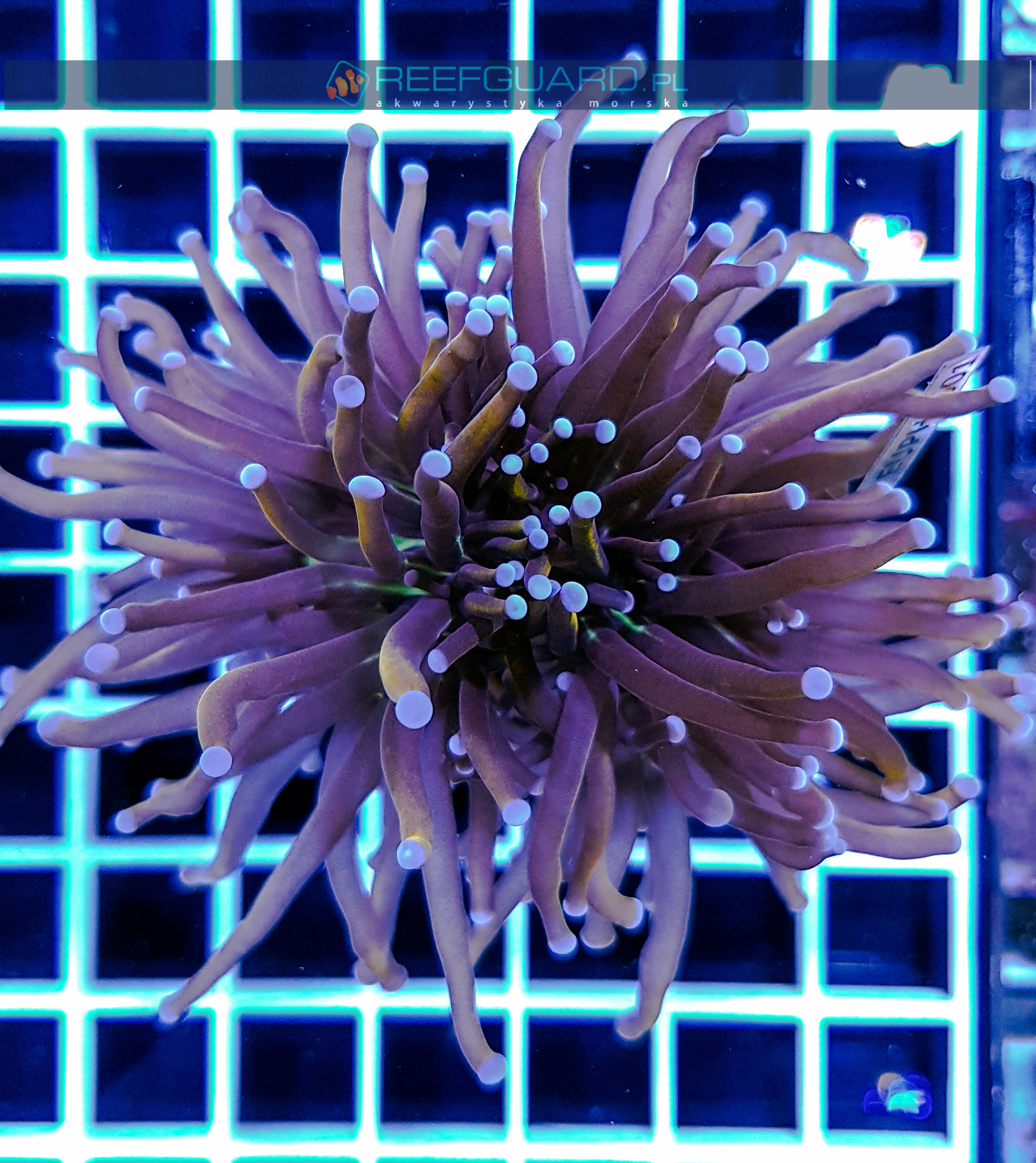 Euphyllia glabrescens Orange Australia Blue tip EUPH0001