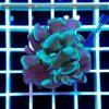 Euphyllia paraancora green EUPH0006