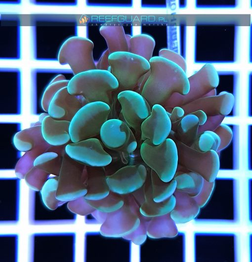 Euphyllia paraancora green EUPH0023