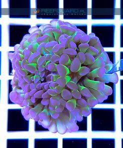 Euphyllia paraancora green purple EUPH0025 reefguard szczecin