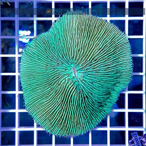 Fungia mint green FUNH000 szczecin akwarystyka morska