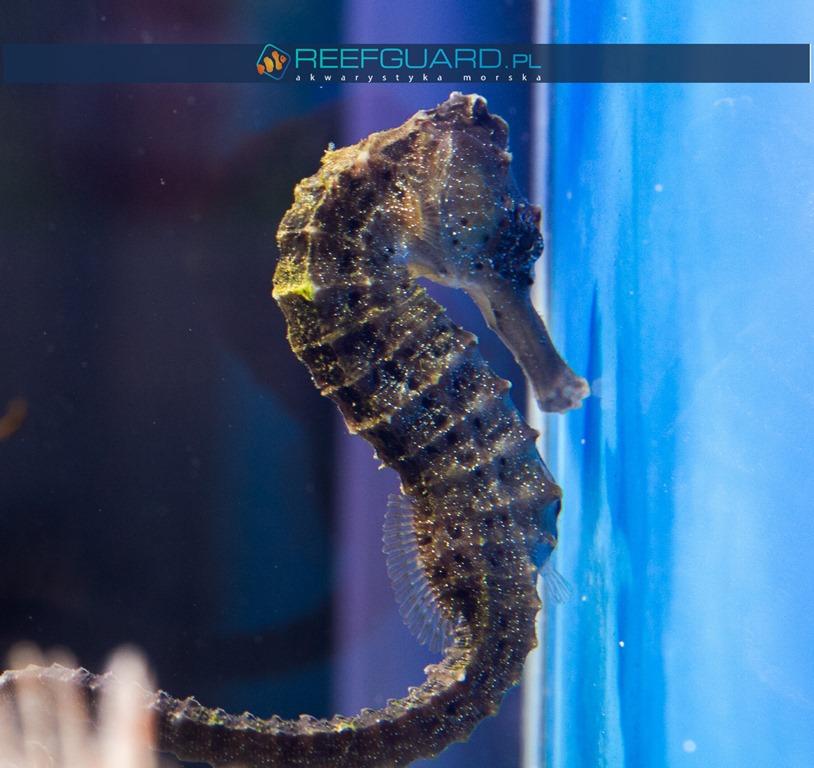 Hippocampus reidi Black szczecin konik morski koniki morskie reefguard