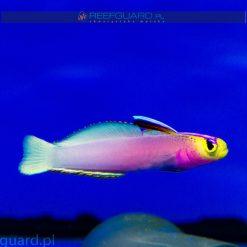 Nemateleotris helfrichi Helfrichi Firefish Goby Szczecin reefguard