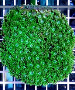 Turbinaria peltata Green TURH0001 szczecin reefguard