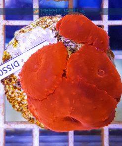 Discosoma RED Fluo WYSIWYG DISS0031 akwarystyka morska szczecin