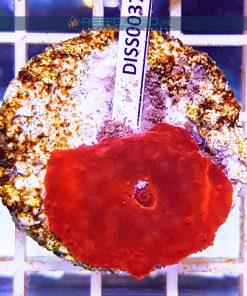 Discosoma RED Fluo mushroom