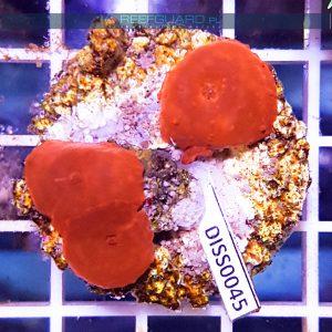 Discosoma RED Fluo WYSIWYG DISS0045 szczecin akwarystyka morska reefguard