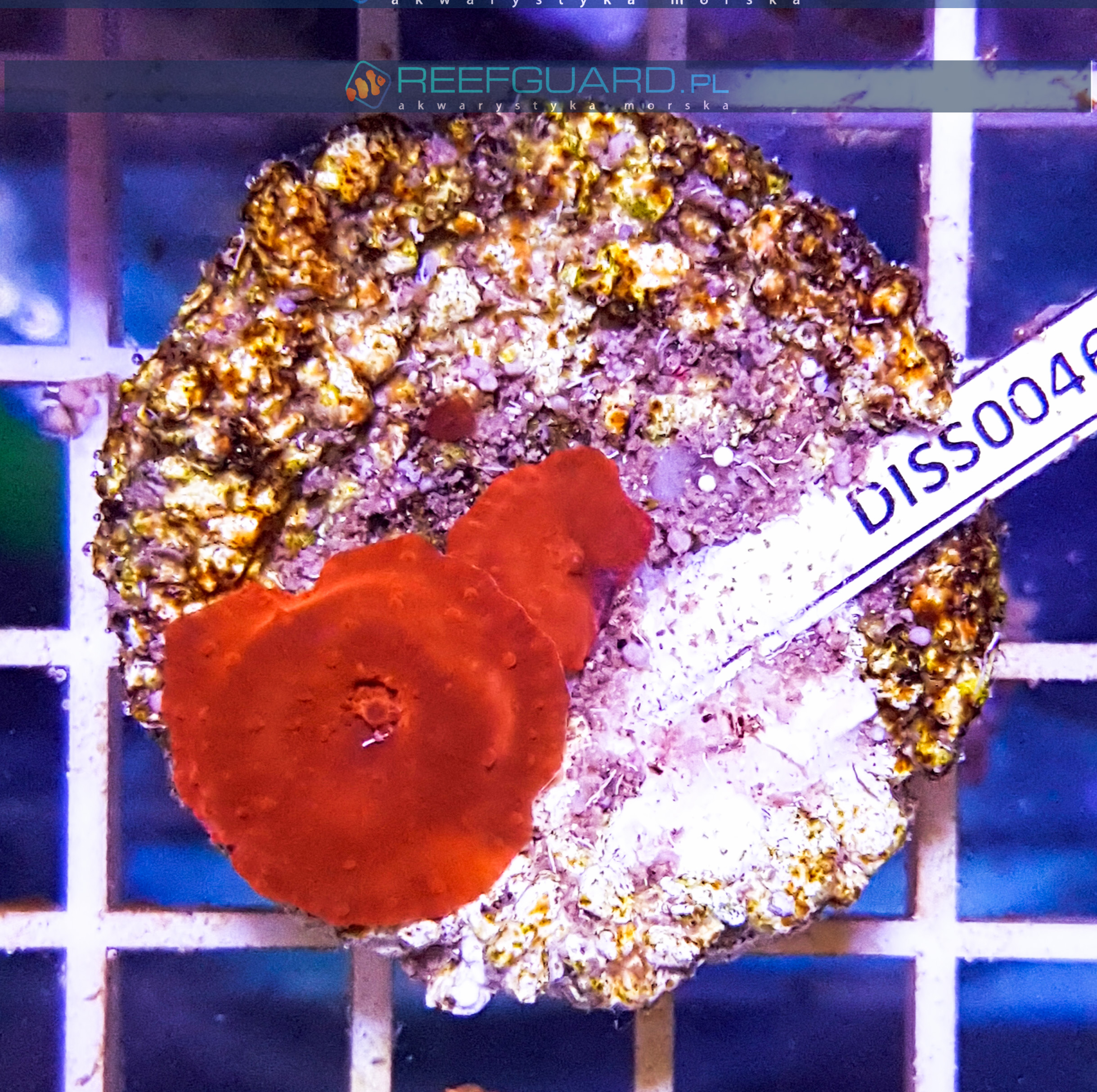 Discosoma RED Fluo WYSIWYG DISS0046 reefguard.pl
