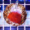 Discosoma RED Fluo WYSIWYG DISS0047 szczecin akwarystyka morska