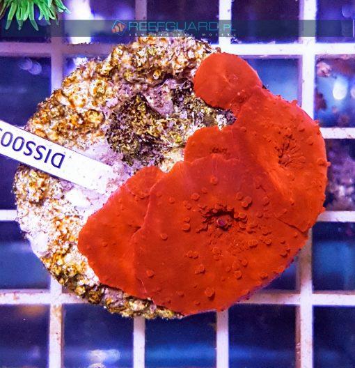 Discosoma RED Fluo WYSIWYG DISS0050 szczecin reefguard.pl