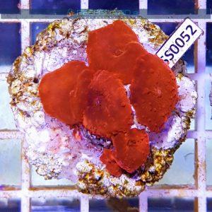 Discosoma RED Fluo WYSIWYG DISS0052 szczecin reefguard.pl