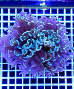 Euphyllia Ancora Rainbow Tip WYSIWYG EUPH0015 szczecin reefguard.pl