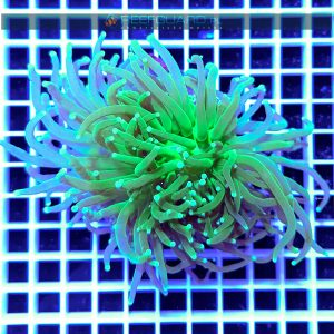 Euphyllia glabrescens Torch intensively Green WYSIWYG EUPH0026 szczecin reefguard