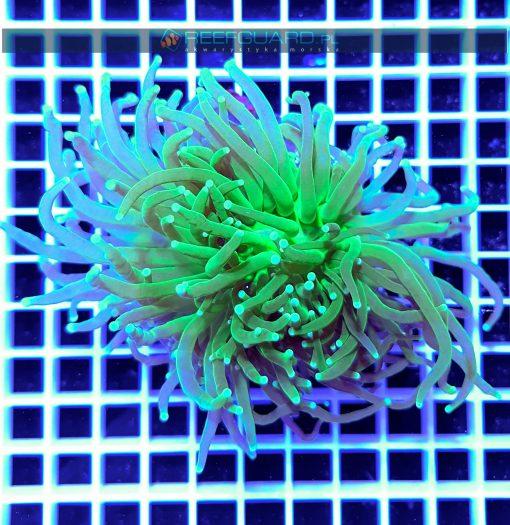 Euphyllia glabrescens Torch intensively Green WYSIWYG EUPH0026 szczecin reefguard