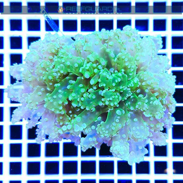 Euphyllia yaeyamaensis toxic green EUPH0023